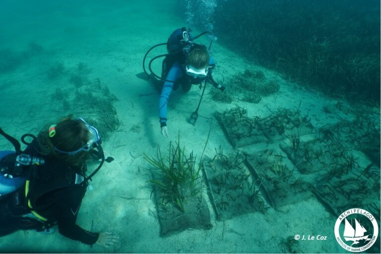 seagrass replanting